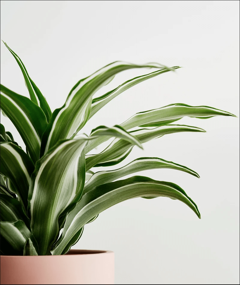 HOW TO CARE FOR YOUR DRACAENA